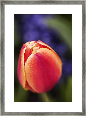 Beautiful Red And Orange Colored Tulip  Framed Print by Vishwanath Bhat