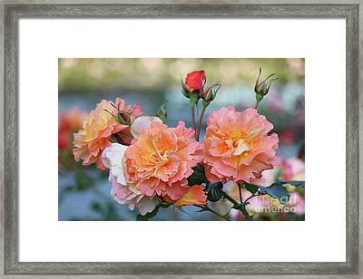 Beautiful Roses  Framed Print by Carol Groenen
