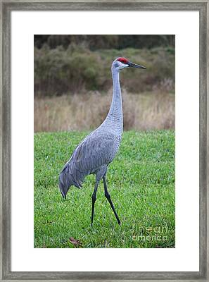 Beautiful Sandhill Crane Framed Print by Carol Groenen