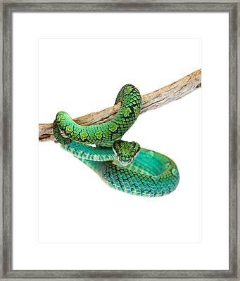 Beautiful Sri Lankan Palm Viper Framed Print by Susan  Schmitz
