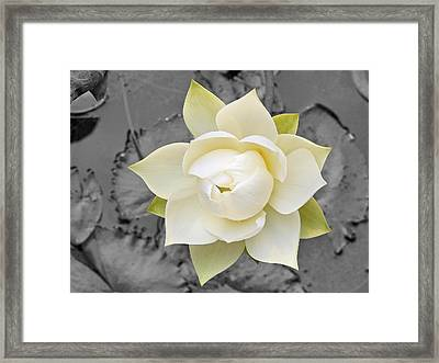 Beautiful White Lotus In Full Bloom Framed Print by Eddie Yong
