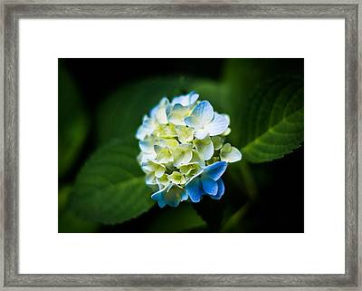 Beauty In A Hydrangea Framed Print by Shelby Young