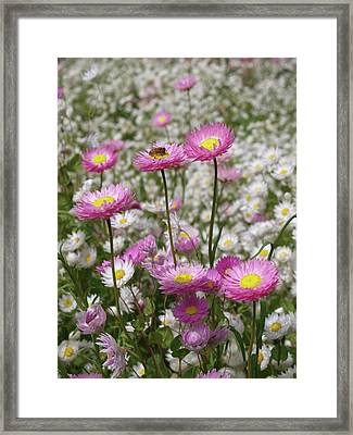 Bee And Daisy Framed Print by Michaela Perryman