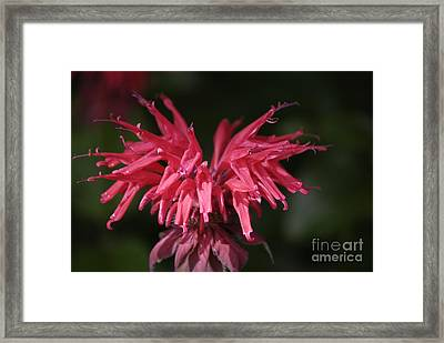 Bee Balm Framed Print by Randy Bodkins