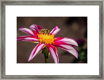 Bee On Dahlia Framed Print by Randy Bayne
