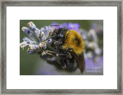 Bees Knees Framed Print by Ian Mitchell