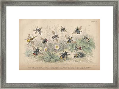 Bees Framed Print by Oliver Goldsmith