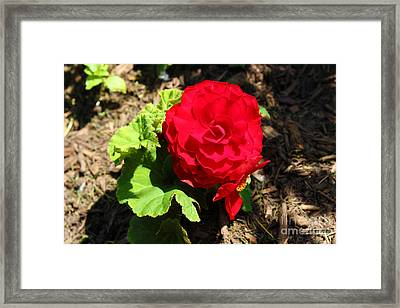 Begonia Flower - Red Framed Print by Corey Ford