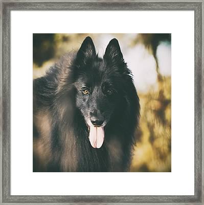 Belgian Sheepdog Portrait 11 Framed Print by Wolf Shadow  Photography