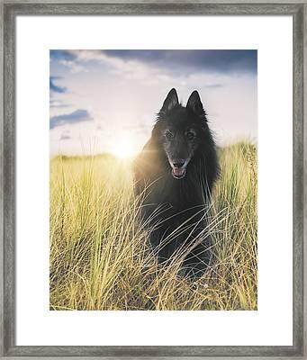 Belgian Shepherd Groenendael In Sea Grass. Framed Print by Wolf Shadow  Photography