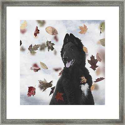 Belgian Shepherd Puppy In Autumn Framed Print by Wolf Shadow  Photography