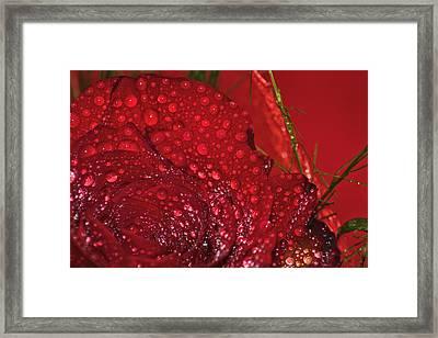 Bellissima Rosa Rossa Con Rugiada Framed Print by Orazio Puccio