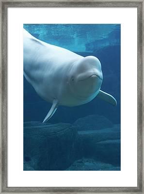 Beluga Whale (delphinapterus Leucas) In Aquarium, Captive Framed Print by Noel Hendrickson