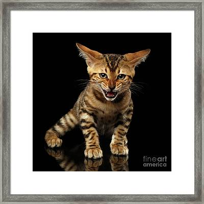 Bengal Kitty Stands And Hissing On Black Framed Print by Sergey Taran