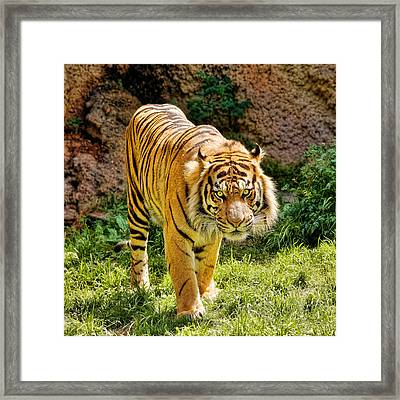 Bengal Tiger Framed Print by Jon Woodhams