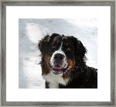 Bernese Mt Dog Framed Print by Jean Noren
