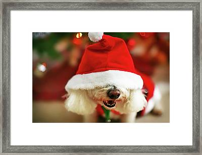 Bichon Frise Dog In Santa Hat At Christmas Framed Print by Nicole Kucera