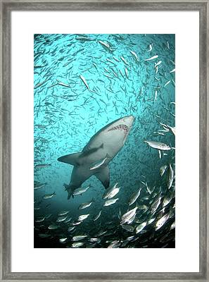 Big Raggie Swims Through Baitfish Shoal Framed Print by Jean Tresfon