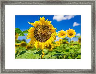 Big Yellow Sunflower With A Feasting Bee Framed Print by Semmick Photo