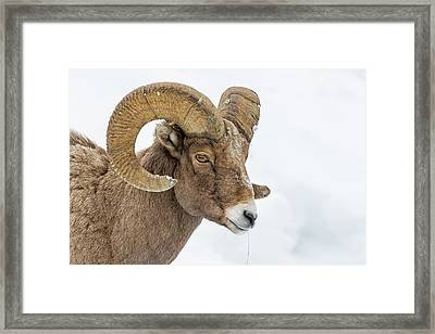 Bighorn Framed Print by Doug Oglesby
