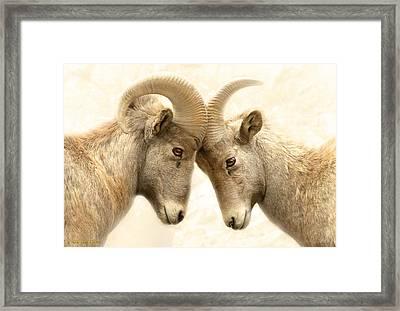 Bighorn Love Framed Print by Brian Gustafson