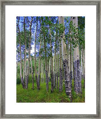 Birch Forest Framed Print by Julie Lueders