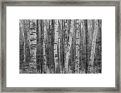 Birch Stand Framed Print by Ron Kochanowski - www.kochanowski.us