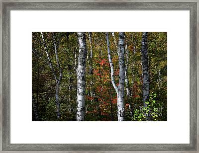 Birches Framed Print by Elena Elisseeva