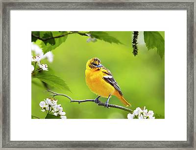 Bird And Blooms - Baltimore Oriole Framed Print by Christina Rollo