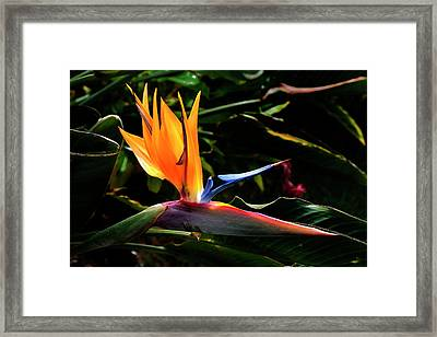 Bird Of Paradise Flower Framed Print by Brian Harig