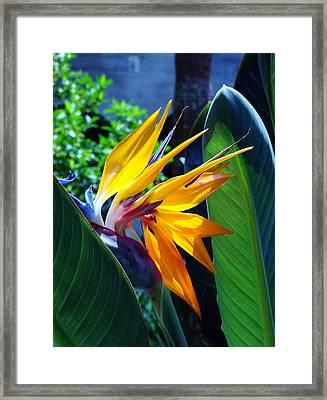 Bird Of Paradise Framed Print by Susanne Van Hulst