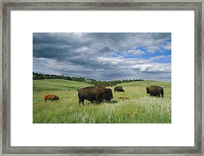 Bison And Their Calves Graze In Custer Framed Print by Annie Griffiths