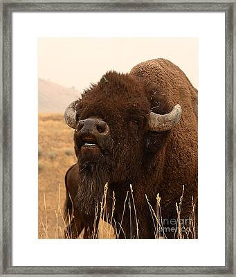Bison Bellowing At The Sky Framed Print by Max Allen