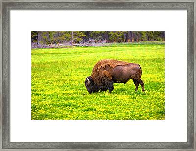 Bison Grazing In The Flowers Framed Print by Greg Norrell