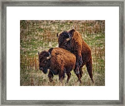 Bison Having Fun Framed Print by Paul W Sharpe Aka Wizard of Wonders