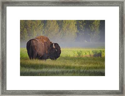 Bison In Morning Light Framed Print by Sandipan Biswas