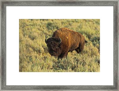 Bison Framed Print by Sebastian Musial