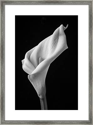 Black And White Calla Lily Framed Print by Garry Gay