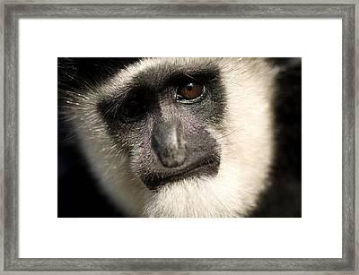 Black And White Colobus Monkey Colobus Framed Print by Joel Sartore