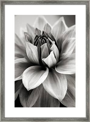 Black And White Dahlia Framed Print by Danielle Miller