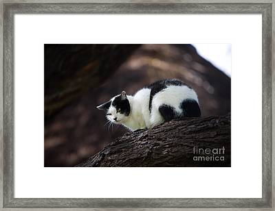 Black And White Domestic Cat Framed Print by Gerard Lacz