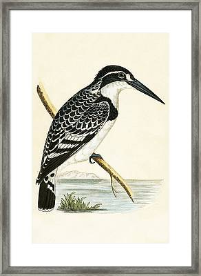 Black And White Kingfisher Framed Print by English School