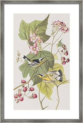 Black And Yellow Warblers Framed Print by John James Audubon