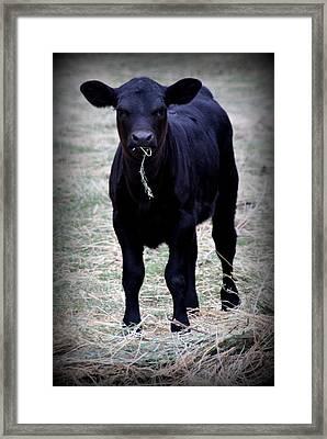 Black Angus Calf Framed Print by Tam Graff