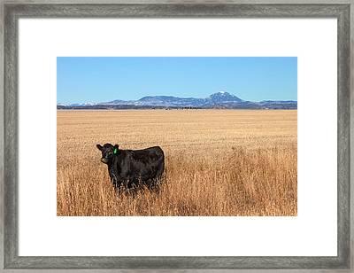 Black Angus Looking Framed Print by Todd Klassy