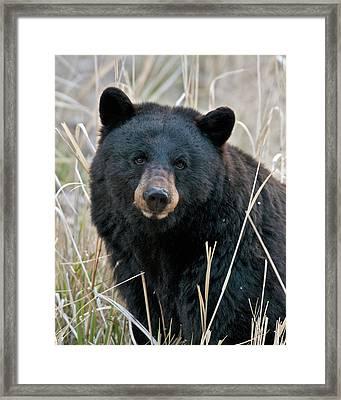 Black Bear Closeup Framed Print by Gary Langley