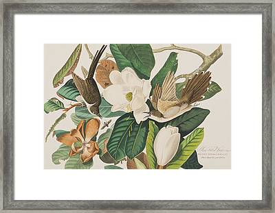 Black Billed Cuckoo Framed Print by John James Audubon
