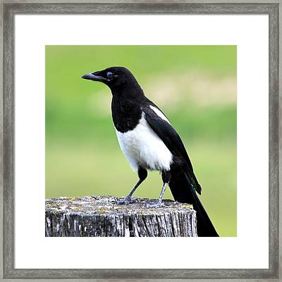 Black-billed Magpie Framed Print by Karon Melillo DeVega