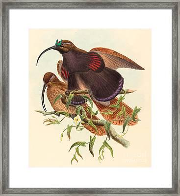 Black-billed Sicklebill Bird Of Paradise Framed Print by John Gould