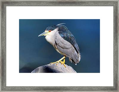Black-crowned Night Heron Framed Print by Donna Kennedy